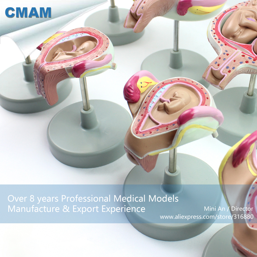 12450 CMAM-ANATOMY12 Fetal Development Human Pregnancy Process Model, Medical Science Educational Teaching Anatomical Models 12400 cmam brain03 human half head cranial and autonomic nerves anatomy medical science educational teaching anatomical models