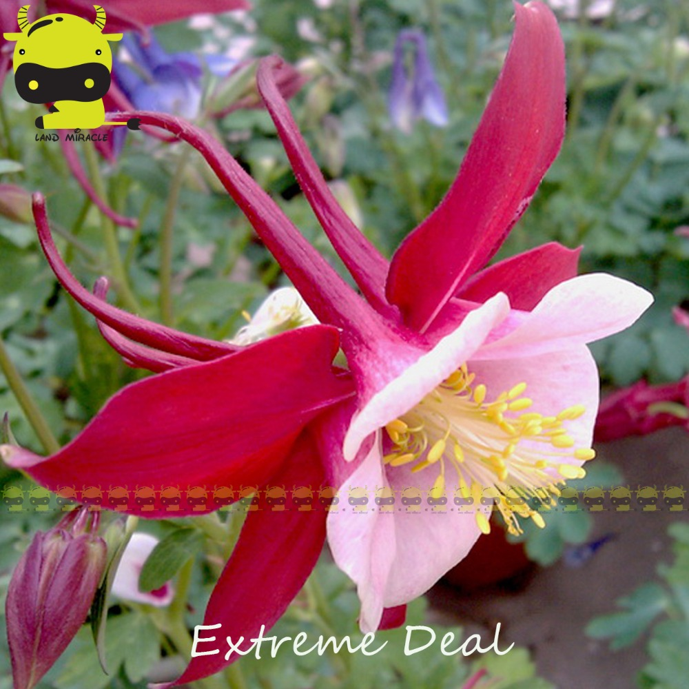 Songbird variety red white columbine flower seeds 50 seedspack songbird variety red white columbine flower seeds 50 seedspack aquilegia herb plants diy balcony pot in bonsai from home garden on aliexpress izmirmasajfo