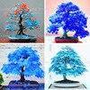 20 pcs china maple tree Bonsai tree seeds. rare sky blue maple seed. Balcony plants