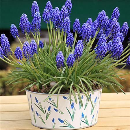 Flor del jacinto de uva de los clientes compras en l nea - Jacinto planta interior ...