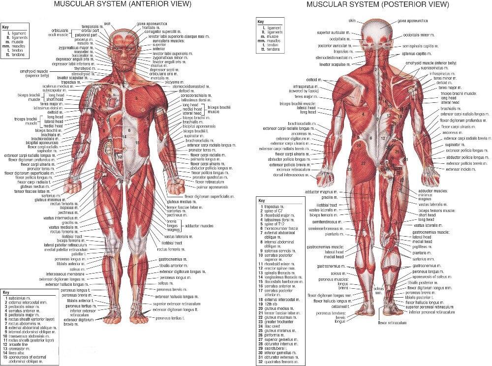 0082 Corps Humain Anatomique Tableau Musculaire 2 pcs