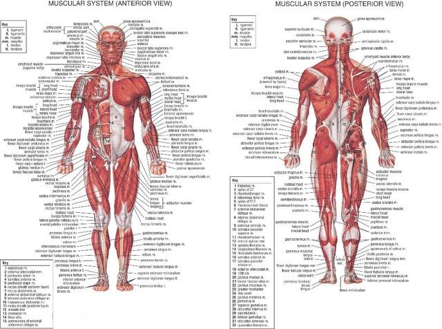 0082 menschlichen Körper Anatomischen Diagramm Muskel 2 stücke ...