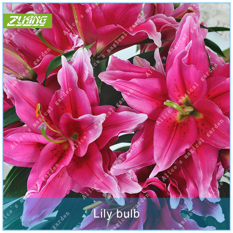 ZLKING 1pcs True Lily Bulb Bonsai Plant Perennials Flowers Bulbs Not Seeds Fast Growing Flowers Rainbow Flower For Home Garden