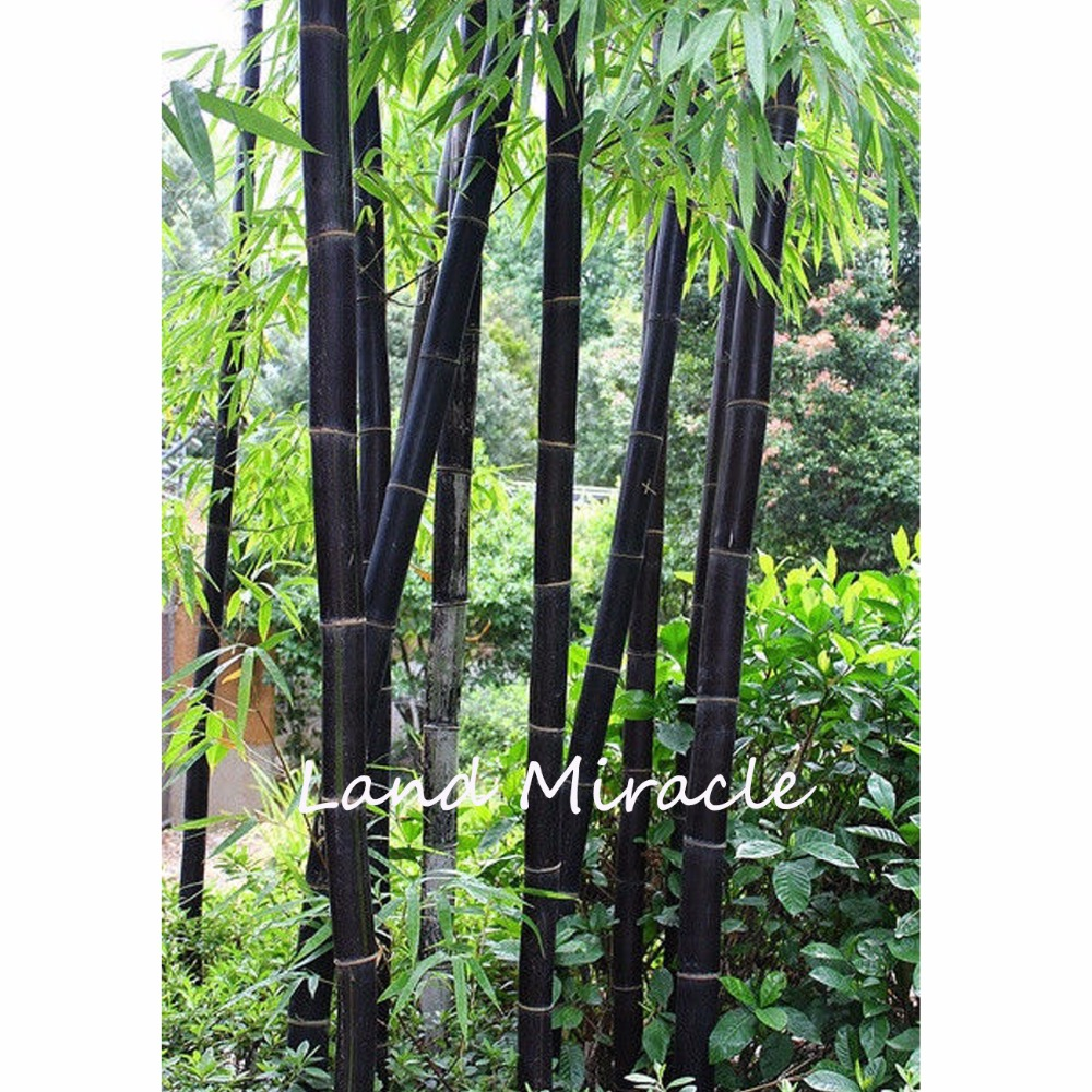 20pcs Giant Black Moso Bamboo Seed S China Phyllostachys Heterocycla Bonsai Perennial Hardy Plants Diy Home Garden In From On