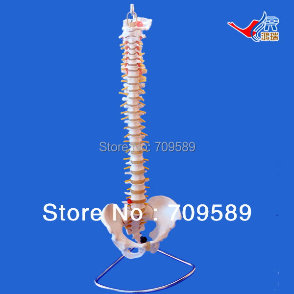 ISO Life-Size Vertebral Column with Pelvis model, Vertebrae Model, Spine Model vertebral column model with pelvis femur heads and sacrum 45cm spine model with intervertebral disc
