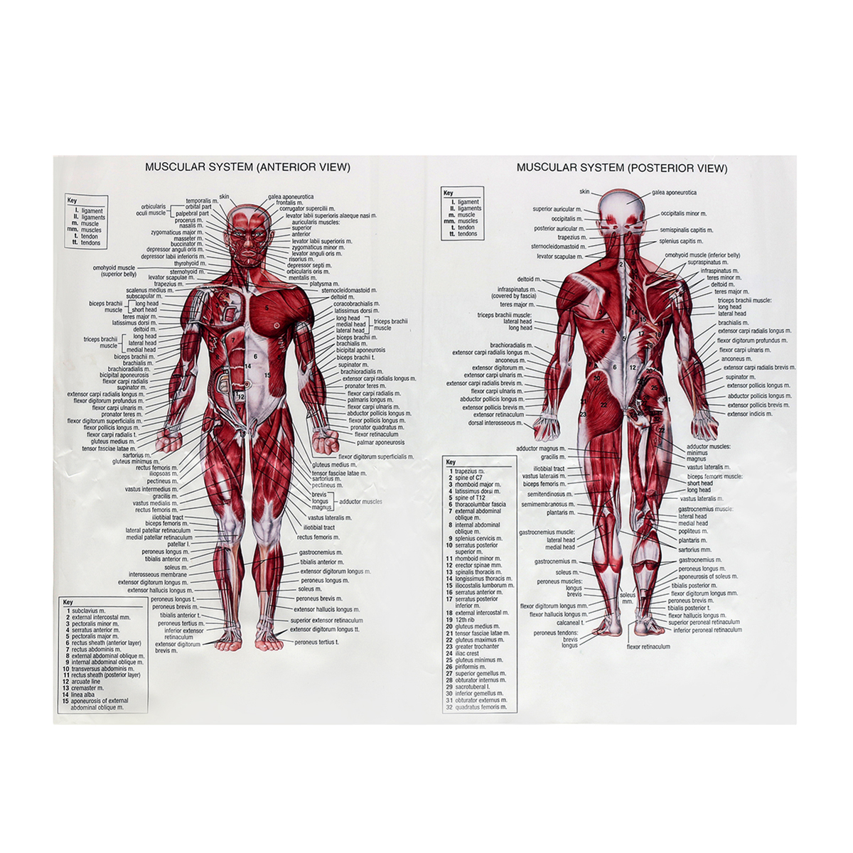 Muscle System Posters Silk Cloth Anatomy Chart Human Body ...