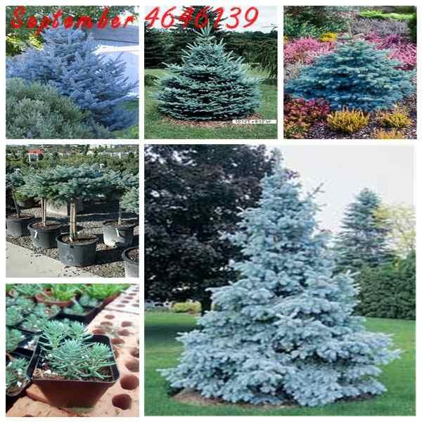 New to the 50Pcs Rare Evergreen Colorado Blue Spruce bonsai  Picea Pungens Glauca Tree potted Garden Pot Planters bonsai plants