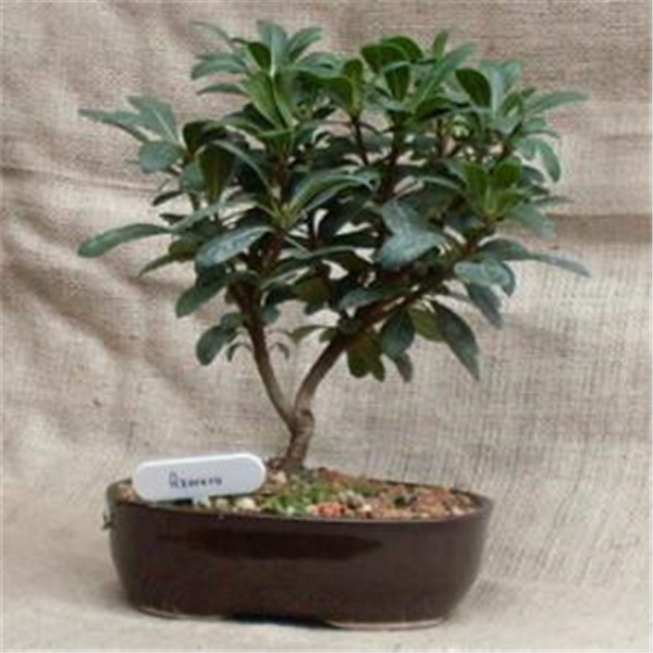 20pcs Bag Eucalyptus Bonsai Tropical Tree Flores Home Decoration Beautiful Garden Plant Rainbow In From On