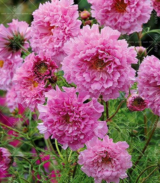 100 Pcs Double Cosmos Seeds Perennial Flower Seeds Bonsai Chrysanthemum Plant  Garden Balcony Ornamental Plants Easy