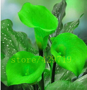 200/bag rainbow calla lily seeds flower lily seeds Rare Plants Flowers Seed for Home gardening DIY  easy grow best gift for wife