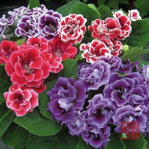 5pcs/bag dwarf Gloxinia flower Seeds mix colour DIY Home Garden