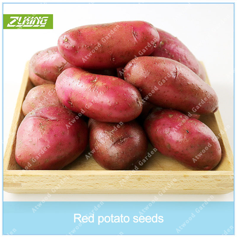 Garden Pots & Planters Punctual Zlking 100pcs Sweet Potato Very Delicious Vegetable Garden Food Easy To Grow Garden Supplies