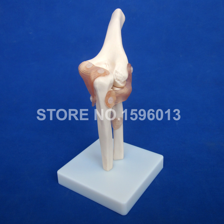 HOT Human Joint Series Model, Human Shoulder,Elbow,Hip,Knee,Hand and Foot Joint Bone Models