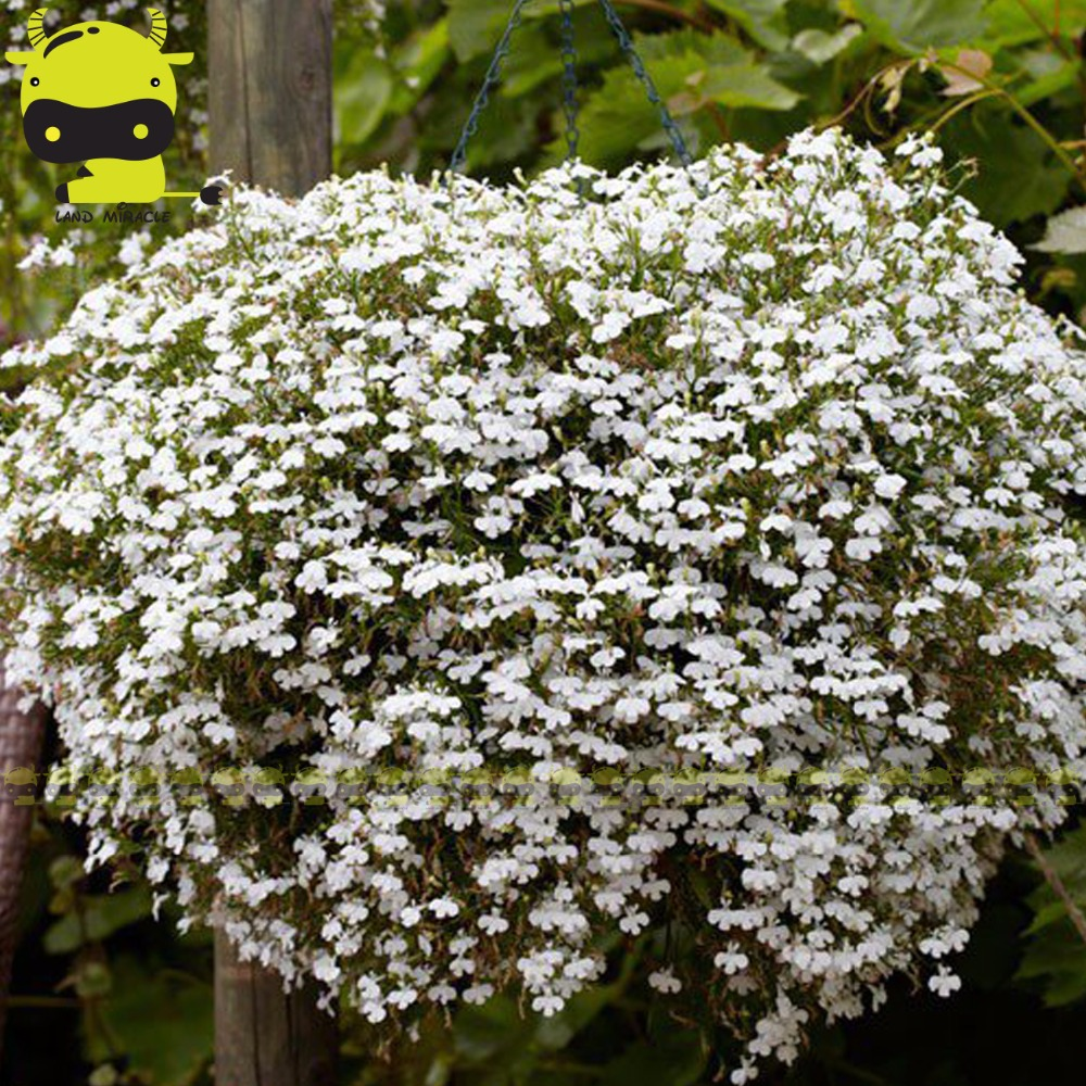 Land Miracle African Bonsai Hanging White Lobelia Seeds 100 Seeds