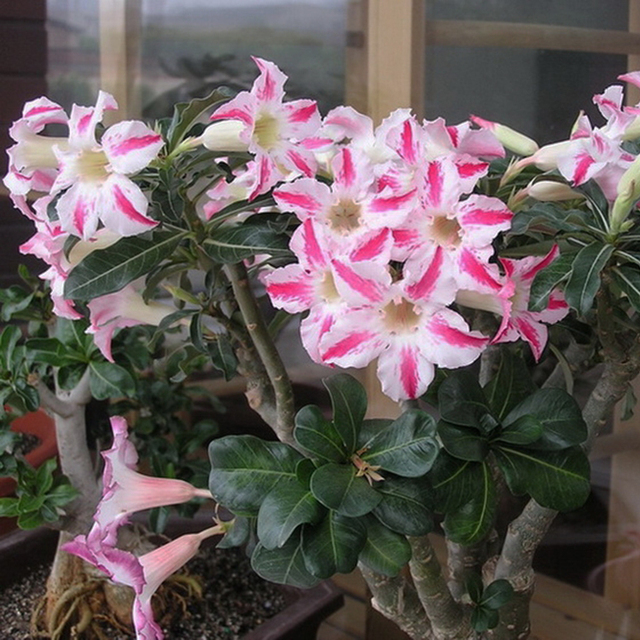 Unique pink and white desert rose seeds potted flowers seeds unique pink and white desert rose seeds potted flowers seeds ornamental plants seeds adenium obesum 1pcs mightylinksfo