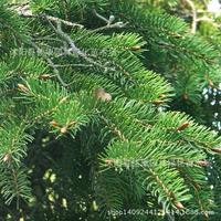 fir tree plant a high fir tree plant purity real shot 200g / Pack