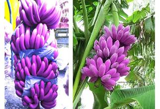 100 Pcs Very Rare Mini Banana Bonsai Outdoor Perennial Flowering Plants Milk Taste Delicious Fruit Tree For Home & Garden 1