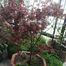 20 Passionate Japanese Red Maple Leaf Seeds