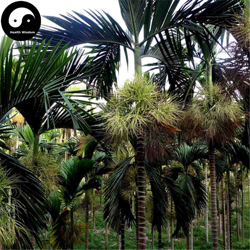 Buy Areca Catechu Tree Semente 6pcs Plant Chinese Evergreen Tree Betel Nut 流水 盆 養魚