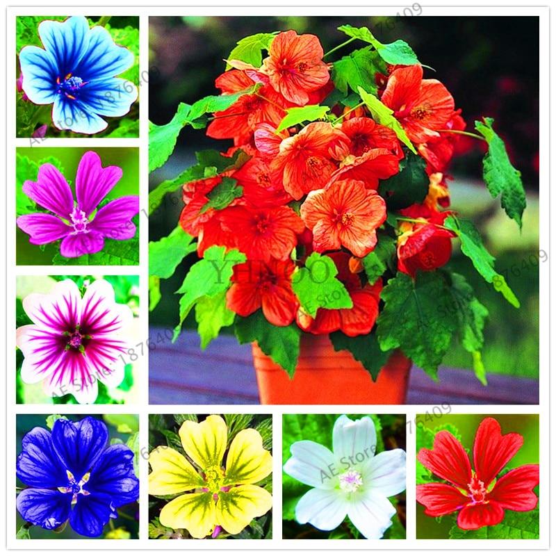 100 шт./упак. редкий многолетний Мальва sinensis цветок бонсай, Китай цветов Мальвы Флорес, Комнатные растения для дома и сада Courtya