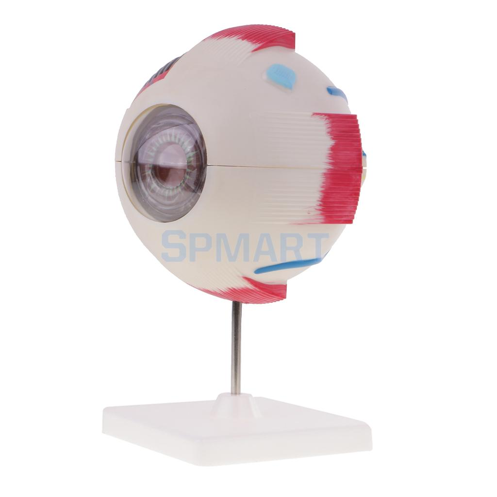 Simuation Human Eye Ball Model Medical Anatomical Study Tool Lab Supplies 15cm
