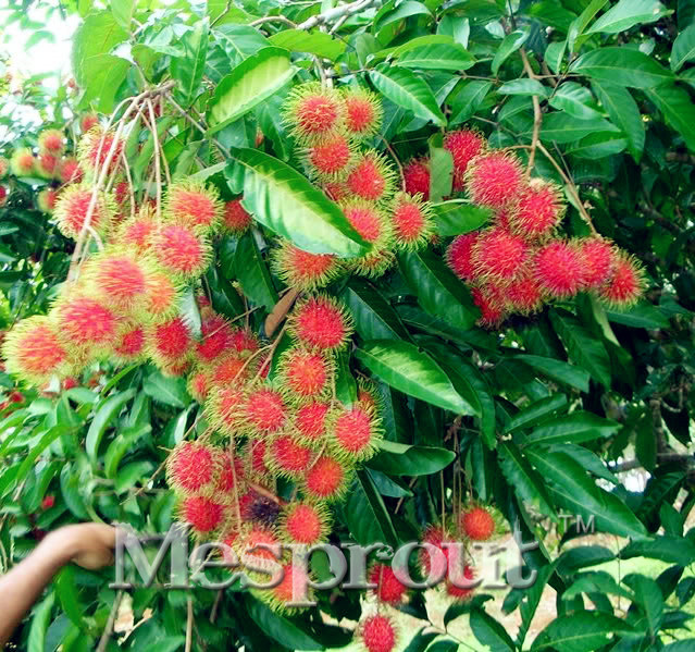 online buy wholesale litchi trees from china litchi trees, Beautiful flower