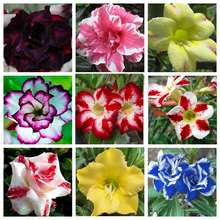 Hot Selling Adenium Obesum Seeds Balcony Flowers Rainbow Desert Rose Seeds 8 Style Selector Adenium Obesum Seeds 1 PCS(China)