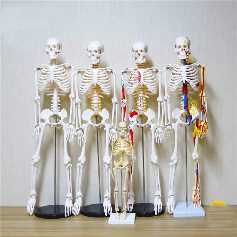 45/85cm skeleton model with nerve/heart human body simulation bone assembly  teaching equipment