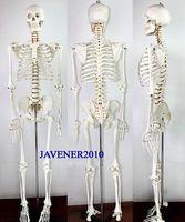 170cm Life Size Man Human Anatomical Anatomy Skeleton Medical Model Stand