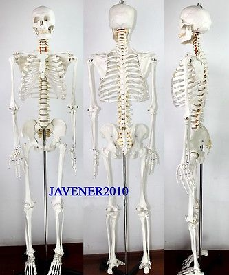 170cm Life Size Man Human Anatomical Anatomy Skeleton Medical Model +Stand 1 2 life size knee joint anatomical model skeleton human medical anatomy for medical science teaching