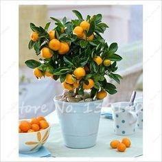 40 NON-GMO Golden Orange Seed Mandarin Tangerine Seeds Balcony Patio Potted Fruit Trees Kumquat Seeds Tangerine Citrus Plants