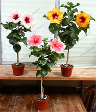 100PCS Hibiscus Rosa-sinensis Perennial Flower plant Bonsai Big Blooms Red Green Blue Purple Colorful цена и фото