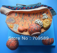 anatomical histoembryology ovary model