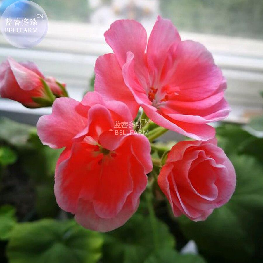 Bellfarm Bonsai Geranium Fully Rose Pink Chinese Rose Typed Flowers
