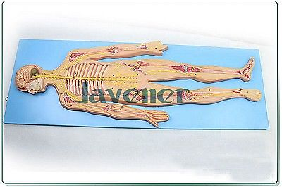 Mini Human Anatomical The Nervous System Of The Body Anatomy Medical Model