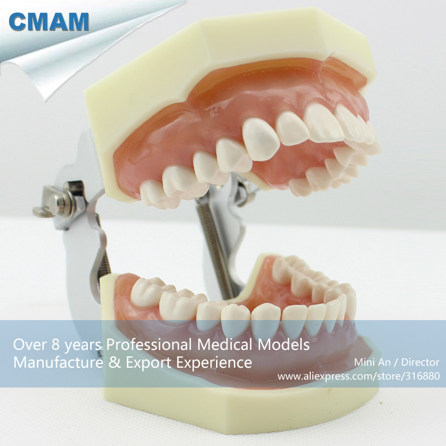 12563 CMAM-DENTAL04 Hard Gingiva Basic Comprehensive Dental Training Model,  Medical Science Educational Anatomical Models 12569 cmam dental10 cranial nerve model in oral cavity medical science educational dental teaching models