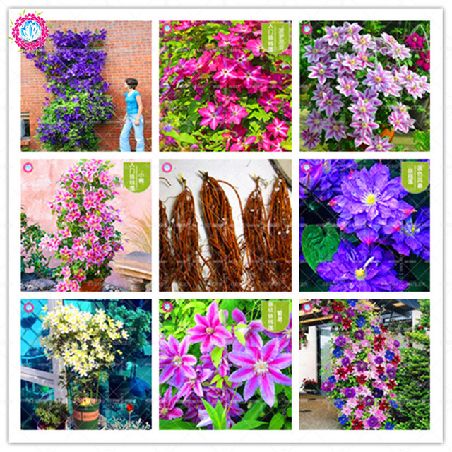 2pcs Fresh Clematis Bulbs 24 Colorful Indoor Bonsai Climbing Flower