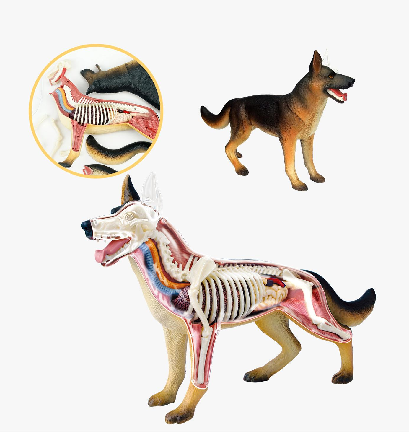 Dog Animal Biology Canine Skeleton Model with Plastic Stand by Skeleton King