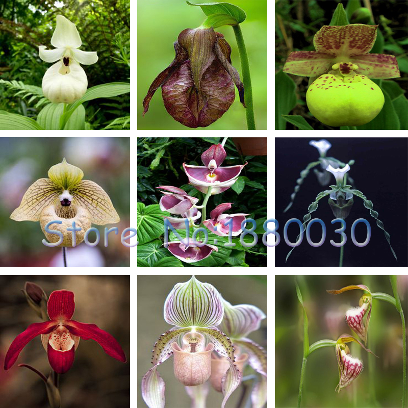 100PCS 24 different colors of American-style home garden flowers Cypripedium seeds bonsai potted orchid seed