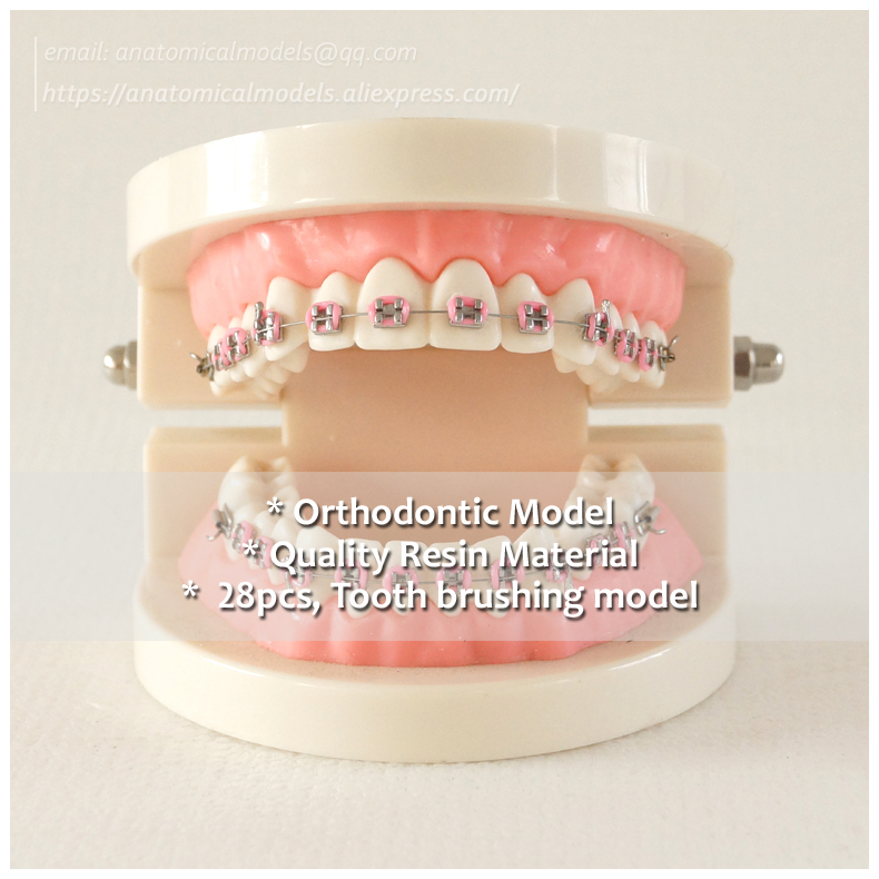 DH/13051, Pathology Jaw Model, Dentist Ortho Metal Bracket Dental Model, 28 tooth, Tooth Brushing ModelDH/13051, Pathology Jaw Model, Dentist Ortho Metal Bracket Dental Model, 28 tooth, Tooth Brushing Model