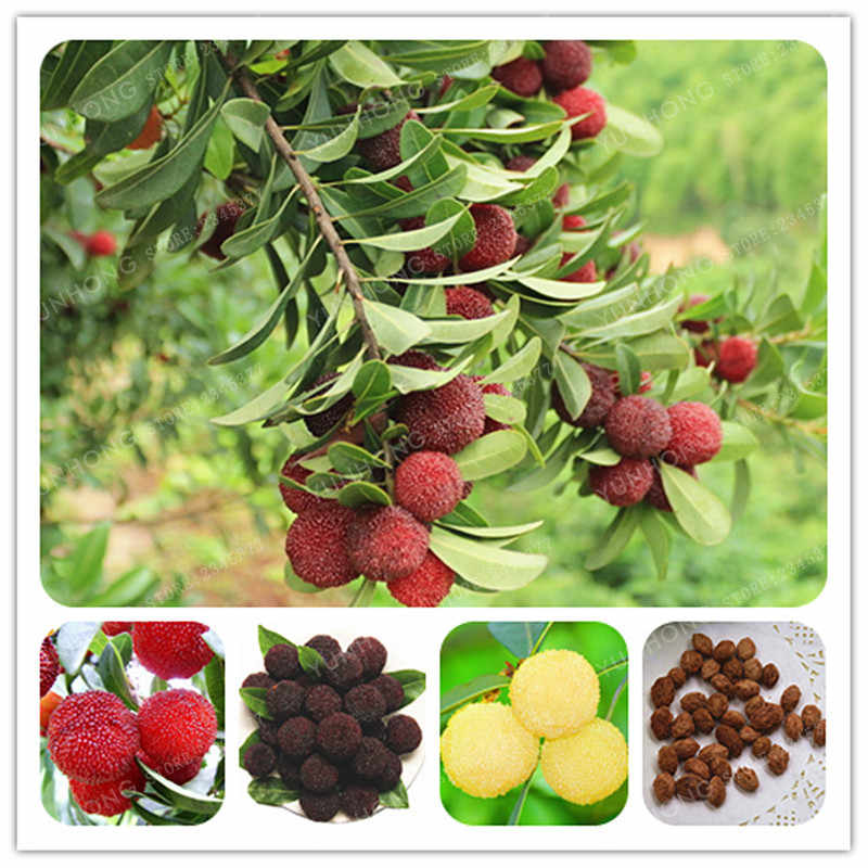 5 Pcs Chinese Myrica Rubra Bonsai Perennial Red Blue Arbutus Organic Taste Sweet Delicious Fruit Tree Bonsai