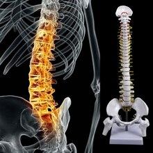 45 см Гибкий 1:1 для взрослых Поясничный изгиб позвоночника модель скелета человека с спинным диском модель таза используется для массажа, йоги