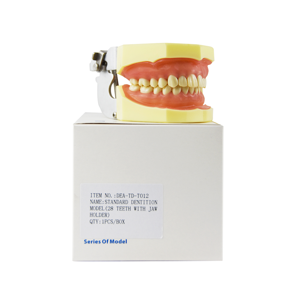 2018 Odontologia Dentista Teeth Whitening Hot Sale Standard Dental Dentition Teeth Model For Demonstration School Education clock table model teacher demonstration with primary school mathematics science and education equipment three needle linkage