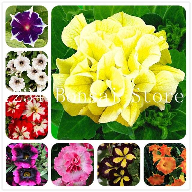 100 pz Petunia Piante, doppi petali petunia Giardino, Fiore bonsai Plantas fiore