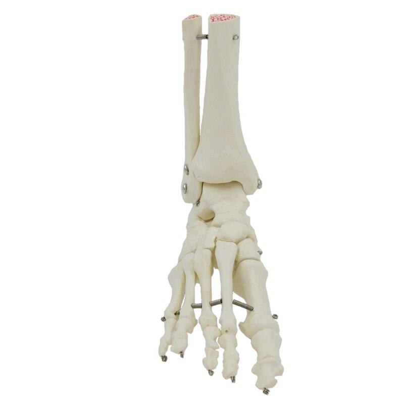 Menschliche Fuß Knochen Modell, Fußsohle, gelenke von Fuß Knöchel ...
