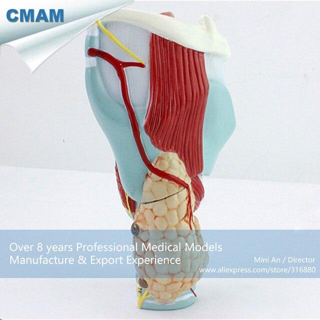 Online Shop 12505 CMAM-THROAT01 Magnified Human Larynx Anatomy ...