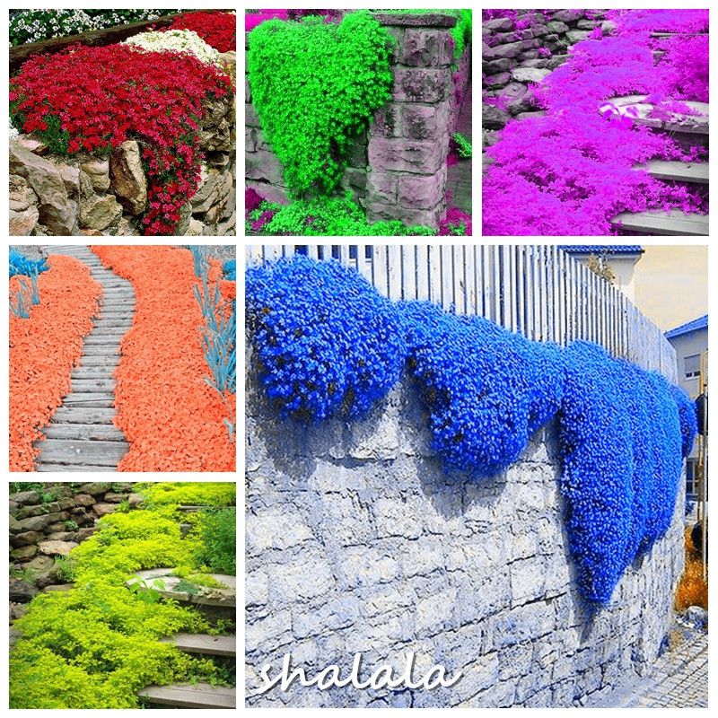 200pcs rock cress plant climbing Barley plant perennial bonsai flower Creeping Thyme Bonsai plant natural growth decoration