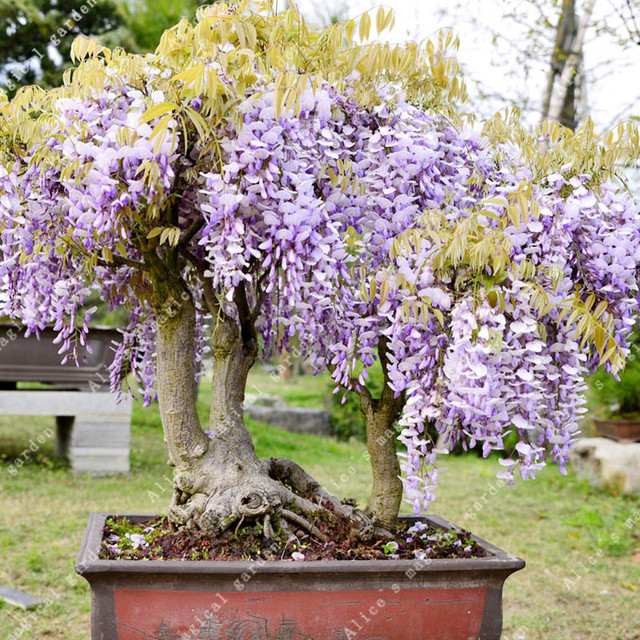 ZLKING 10pcs Wisteria Flower Bonsai Plants For Home Garden Super Natural Products Herbaceous Perennial Plants 4