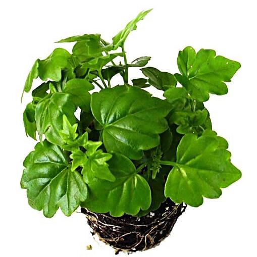 Peque o rbol de hoja perenne compra lotes baratos de for Plantas hoja perenne