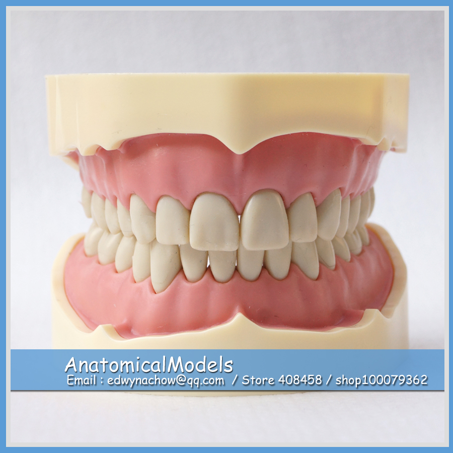 ED-DH105-1 Wholesale BF Type Study Blacke Teeth Dental Model, Medical Science Educational Teaching Anatomical Models 1 pcs dental standard teeth model teach study